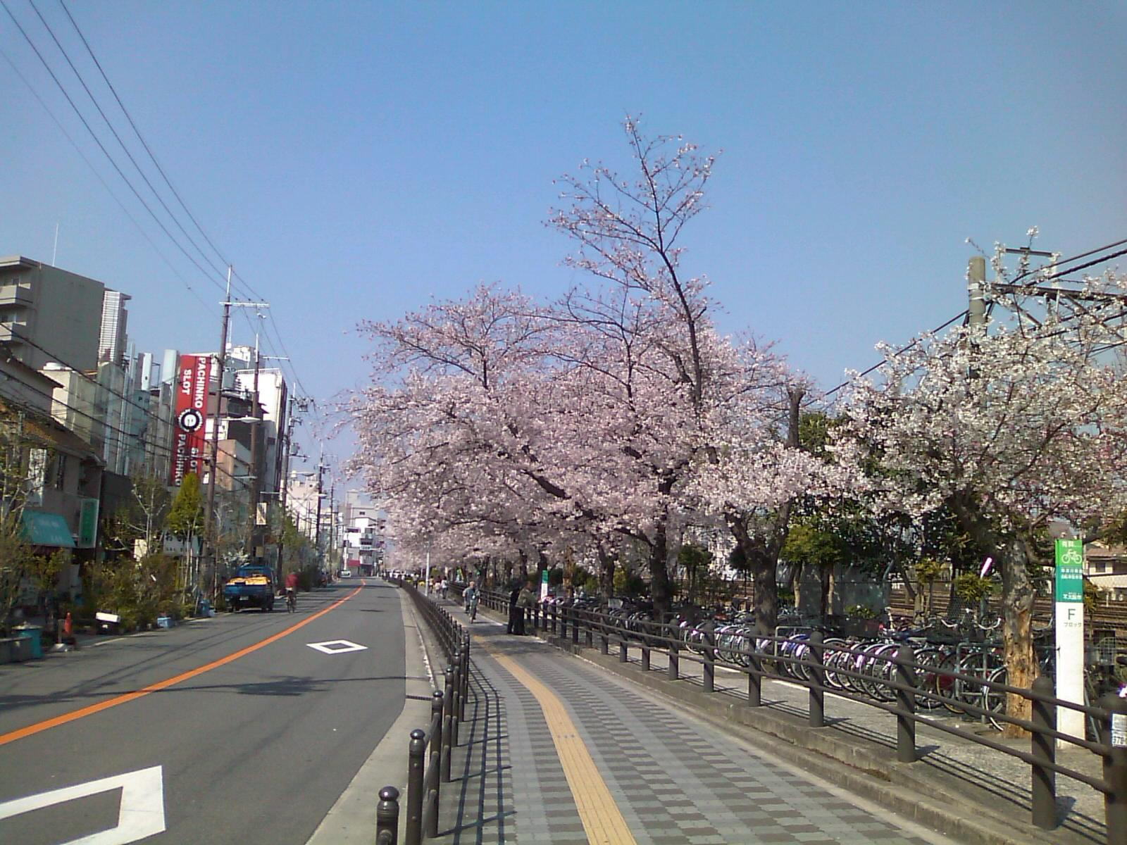 近くにこんなに素敵な桜並木があるのだ。.jpg